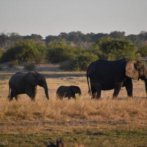 african elephants walking chobe river lodge